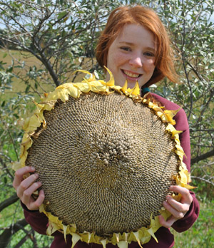 Giant Gardening Sunflower Seeds